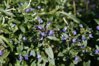 California native plants roundish mightylinksfo