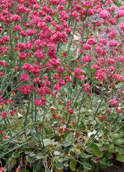 California native plants seed strain of red buckwheat produces rose pink to exceptionally dark rose red flowers low leaves are gray to greenish gray fl color is variable mightylinksfo