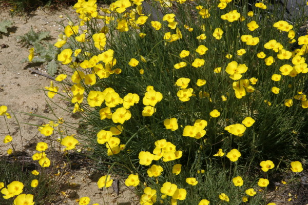 California native plants diminutive plants produce vibrant clear yellow round flowers in spring and summer mightylinksfo
