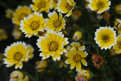 California native plants somewhat succulent low leaves are glossy green cheery spring flowers are good sized abundant and yellow with white tips annual cn mightylinksfo