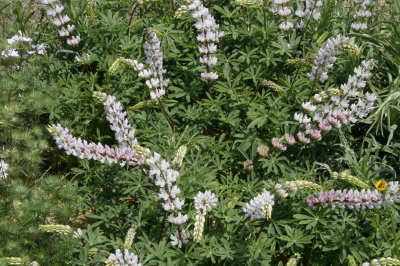 California native plants perennial makes strong stems to 4 5 and tops them with long stems of soft mauve pink flowers in late spring and summer 30 seeds mightylinksfo
