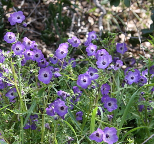 California native plants annual has widely lobed green leaves with silvery spotting and large lavender blue flowers with white then dark centers showy annual for dry shade mightylinksfo